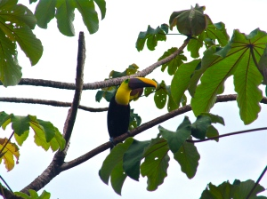 Chestnut mandible toucan Costa Rica